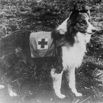 800px-Red_Cross_collie