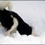 Avalanche-Search-Dog_3
