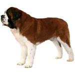 St-Bernard-Dog